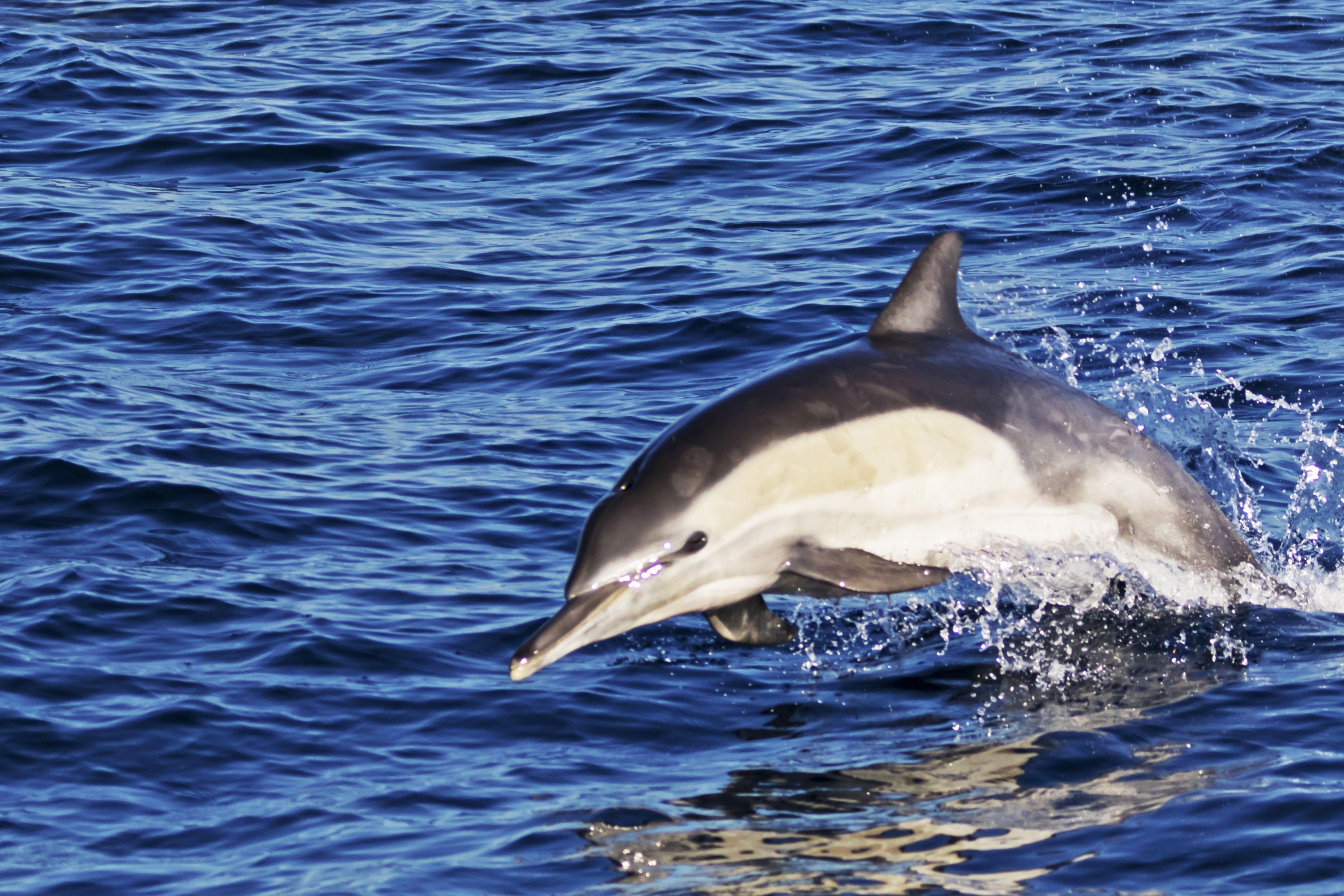 Senza i traghetti al porto di Cagliari sono tornati i delfini (Video)