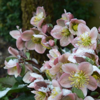 hellebores in the snow, late spring, uk