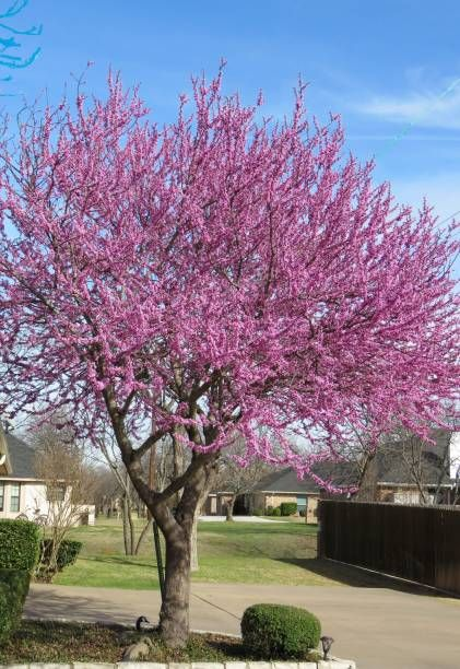 mexicain redbud arbre printemps fleurs paysage