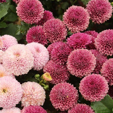 flower, flowering plant, plant, chrysanths, china aster, annual plant, dahlia, perennial plant,