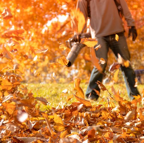 Huge pile of crispy golden leaves being blown into pile on a sunny autumn day