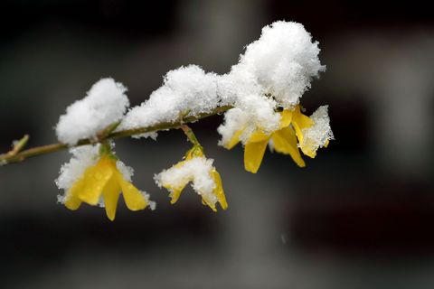 Snow, Frost, Yellow, Freezing, Flower, Winter, Branch, Plant, Twig, Photography,