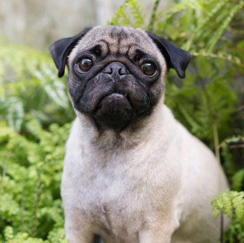 Dog, Pug, Mammal, Vertebrate, Dog breed, Canidae, Snout, Companion dog, Carnivore, Skin,