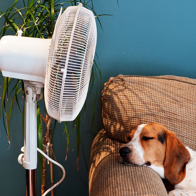 hound lies in front of the cooling breeze of a fan