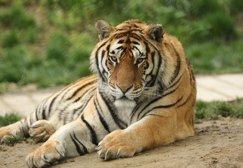 Tiger, Terrestrial animal, Mammal, Wildlife, Vertebrate, Bengal tiger, Siberian tiger, Felidae, Whiskers, Carnivore,