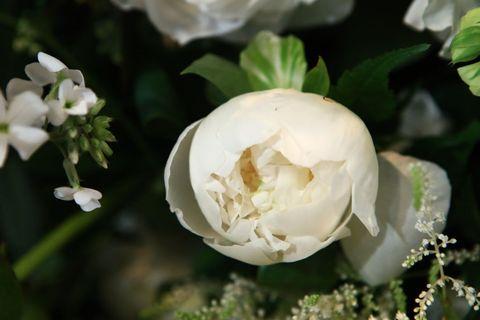 White, Flower, Petal, Plant, Botany, Flowering plant, Gardenia, Rose, Spring, Rose family,