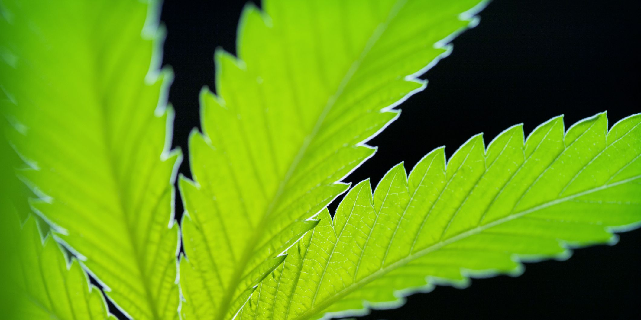 Close-up of marijuana against black background
