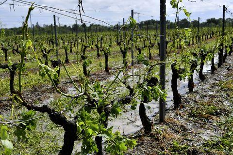 Agriculture, Crop, Plant, Cash crop, Vineyard, Field, Tree, Plantation, Soil, Adaptation,