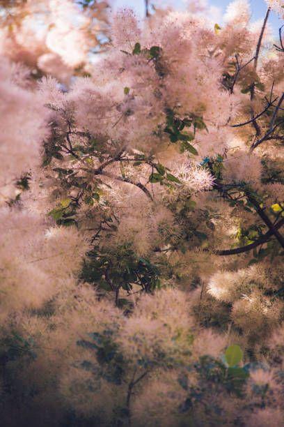 Arbre de fumée rose moelleux au début de l'été cotinus coggygria