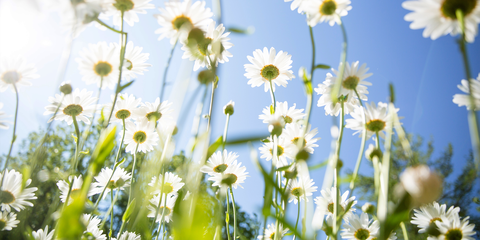 Flower, Flowering plant, Daisy, Sky, Plant, chamomile, mayweed, camomile, Oxeye daisy, Wildflower,