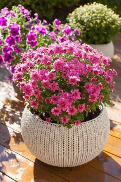 beautiful summer flowers in flowerpots in garden chrysanthemum, petunia