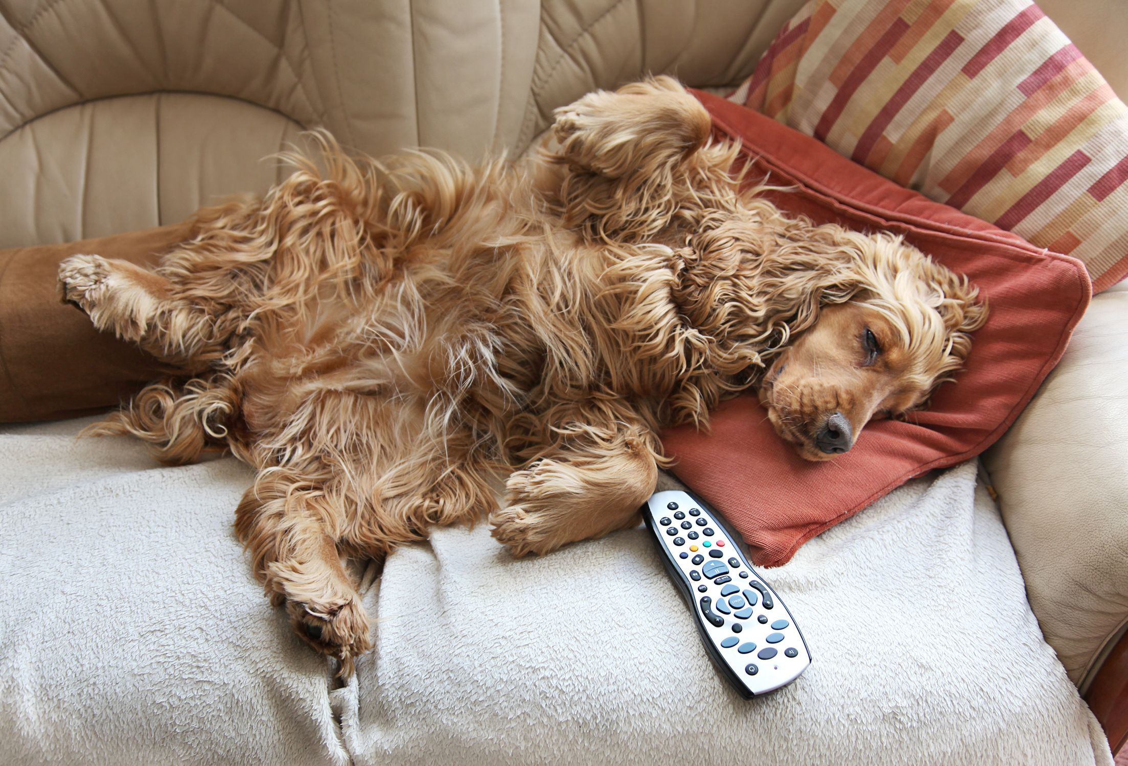 Cocker Spaniel relaxing in front of TV