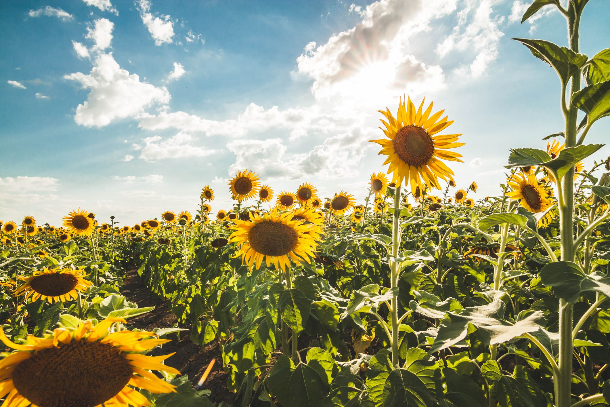 Want to Help Save The Bees? Start Planting Sunflowers in Your Yard