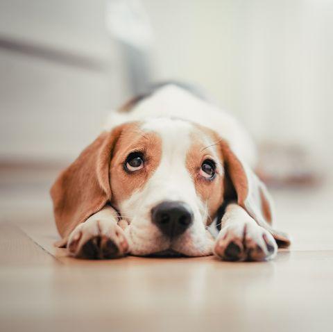 Dog, Mammal, Vertebrate, Dog breed, Canidae, Beagle, Snout, Nose, Carnivore, Harrier,