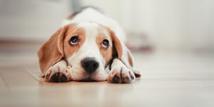 Beagle puppy lying down