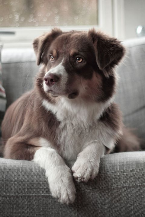 Dog breed, Dog, Carnivore, Couch, Sporting Group, Liver, Living room, Snout, Fur, Companion dog,