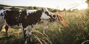 Kweekvlees niet duurzaam - Kweekvlees is niet duurzamer dan 'gewoon' vlees