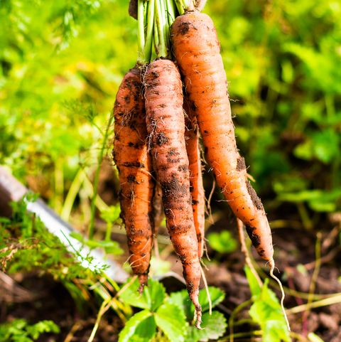 Woman picking fresh organic raw carrots in the garden, selective focus. Outdoors. Harvesting time. Farm or country life.
