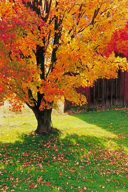 Tree, Leaf, Autumn, Plant, Deciduous, Woody plant, Natural landscape, Black maple, Maple, Grass,