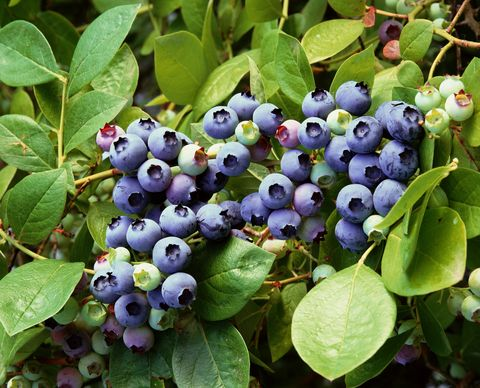 You Can Buy a Blueberry Shrub for $20 at The Home Depot