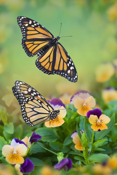 monarch butterflies on pansies