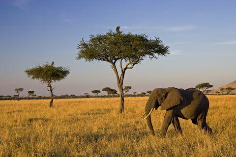 Wildlife, Terrestrial animal, Elephant, Savanna, Grassland, Natural landscape, Natural environment, Elephants and Mammoths, African elephant, Nature reserve,