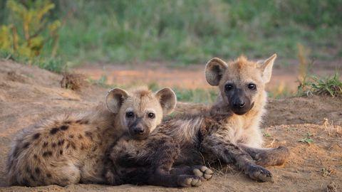 dieren met een pijnlijke bevalling hyena
