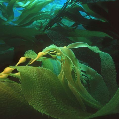 giant kelp macrocystis pyrifera, digital enhancement