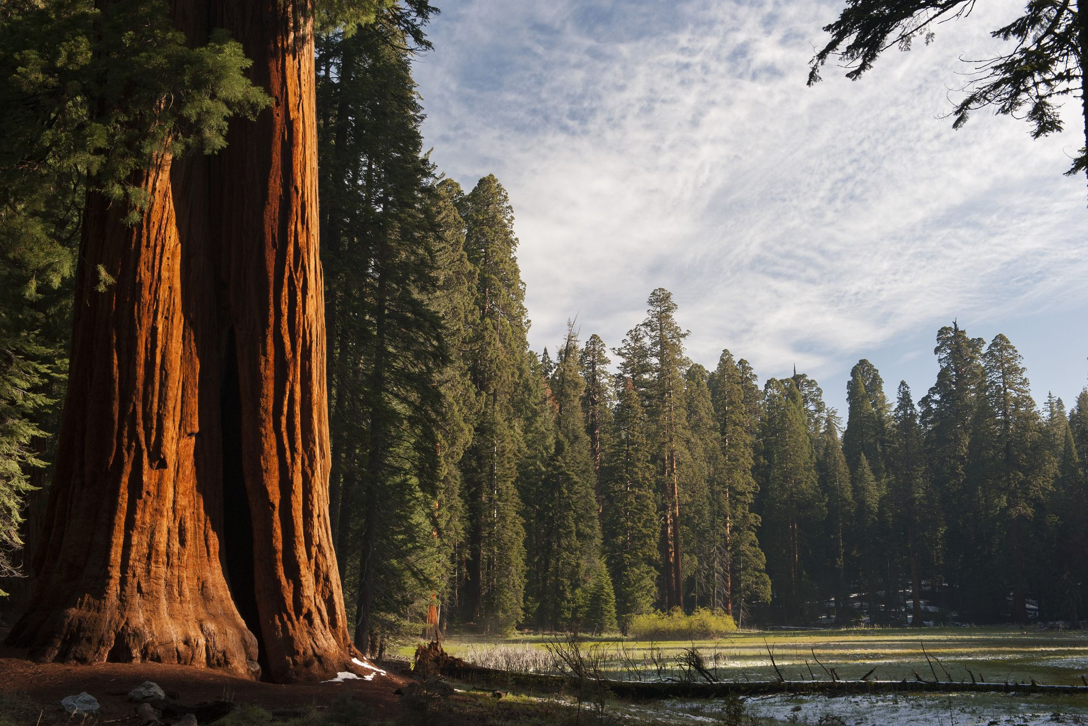 Giant sequoia trees, Sequoia and Kings Canyon National Parks, California, USA