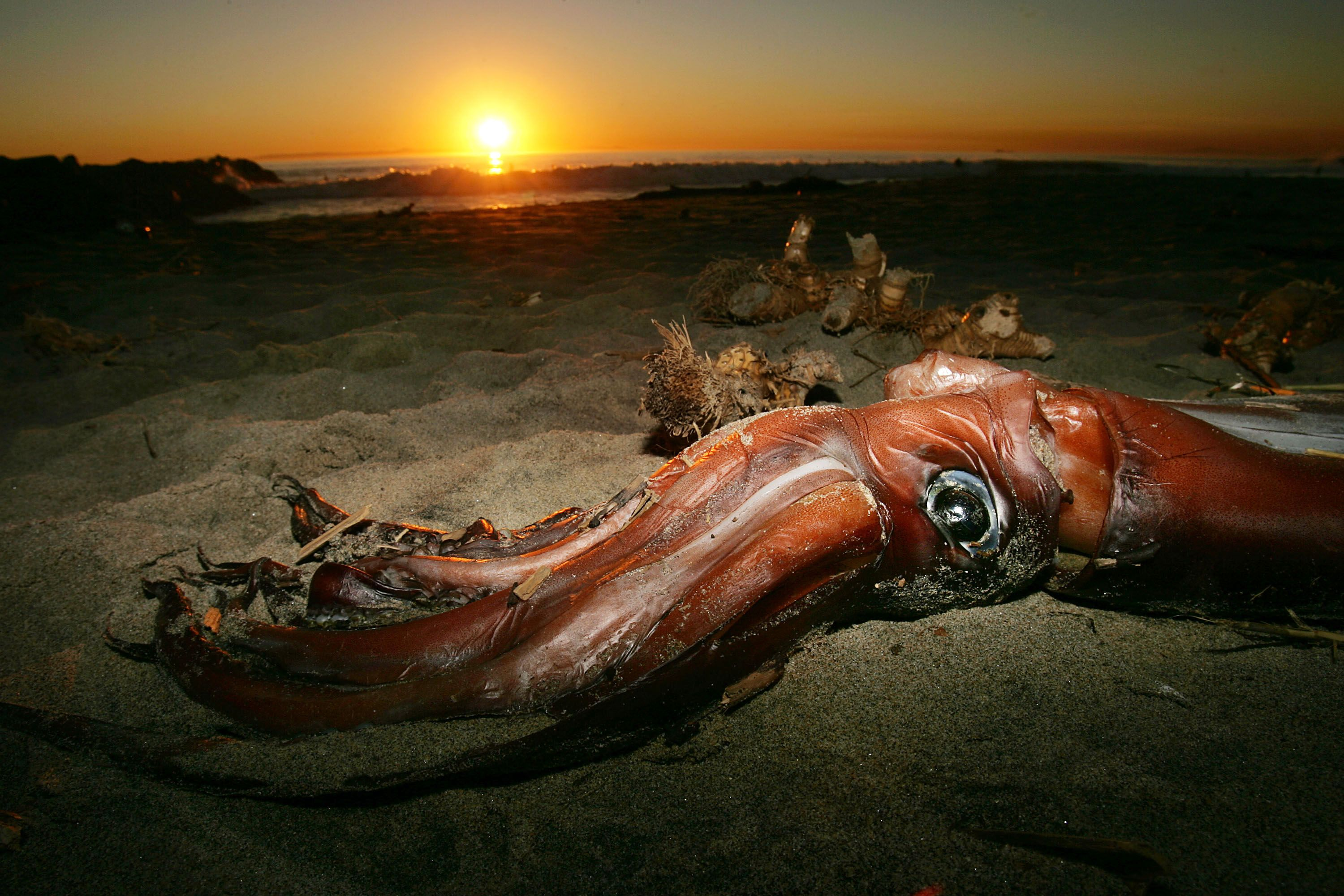 Team Uncovers Major New Truths About the Legendary Giant Squid