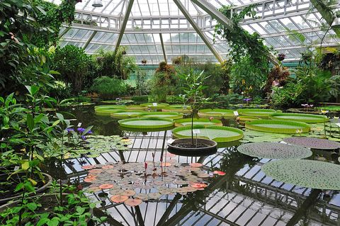 giant water lily pads in the victoria house, greenhouse of the plant palace in the national botanic garden of belgium