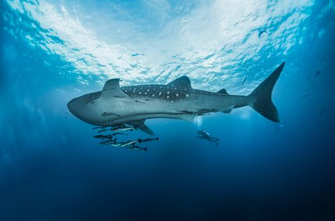 A giant whale shark, North Andaman, Thailand