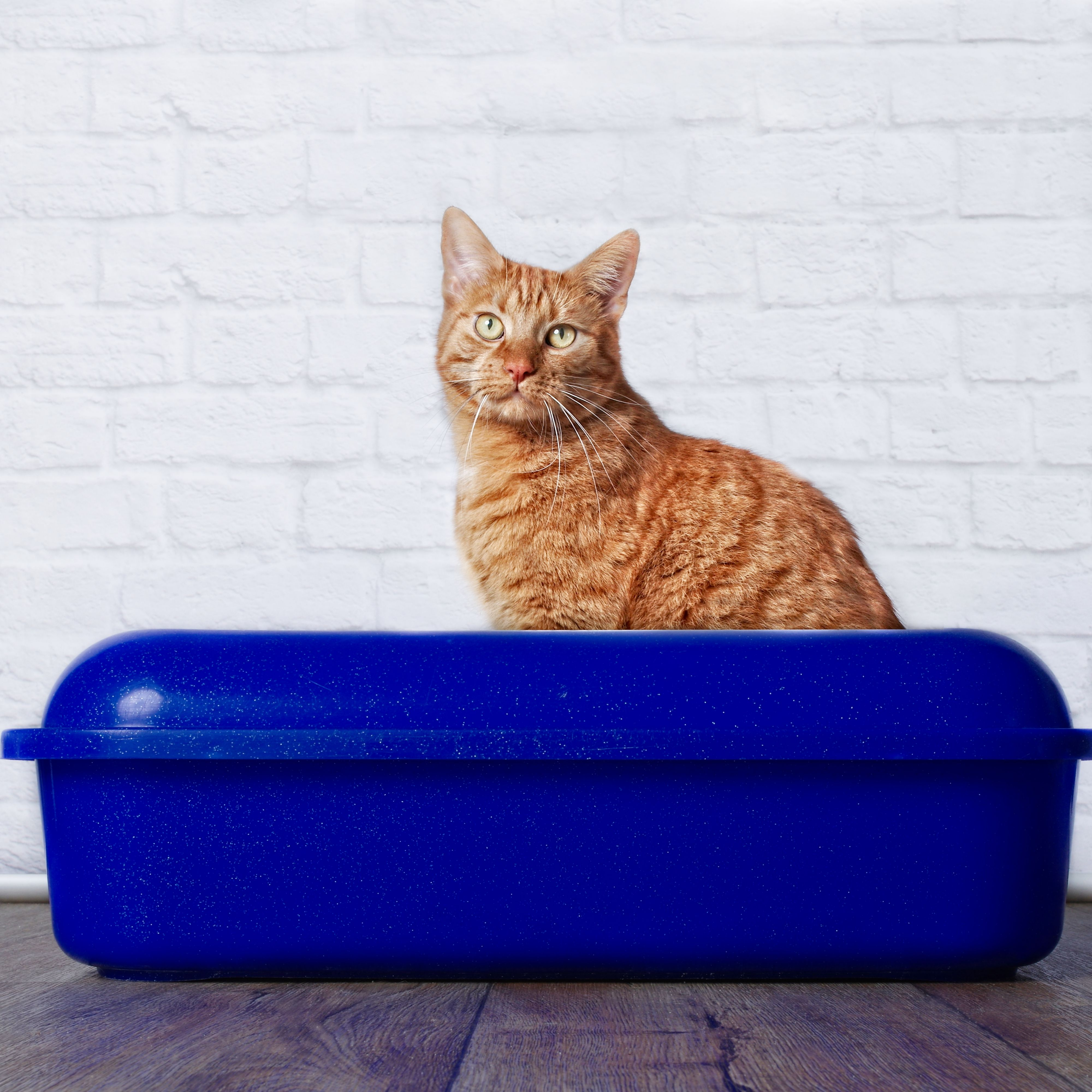 Ginger cat sitting in a litter box