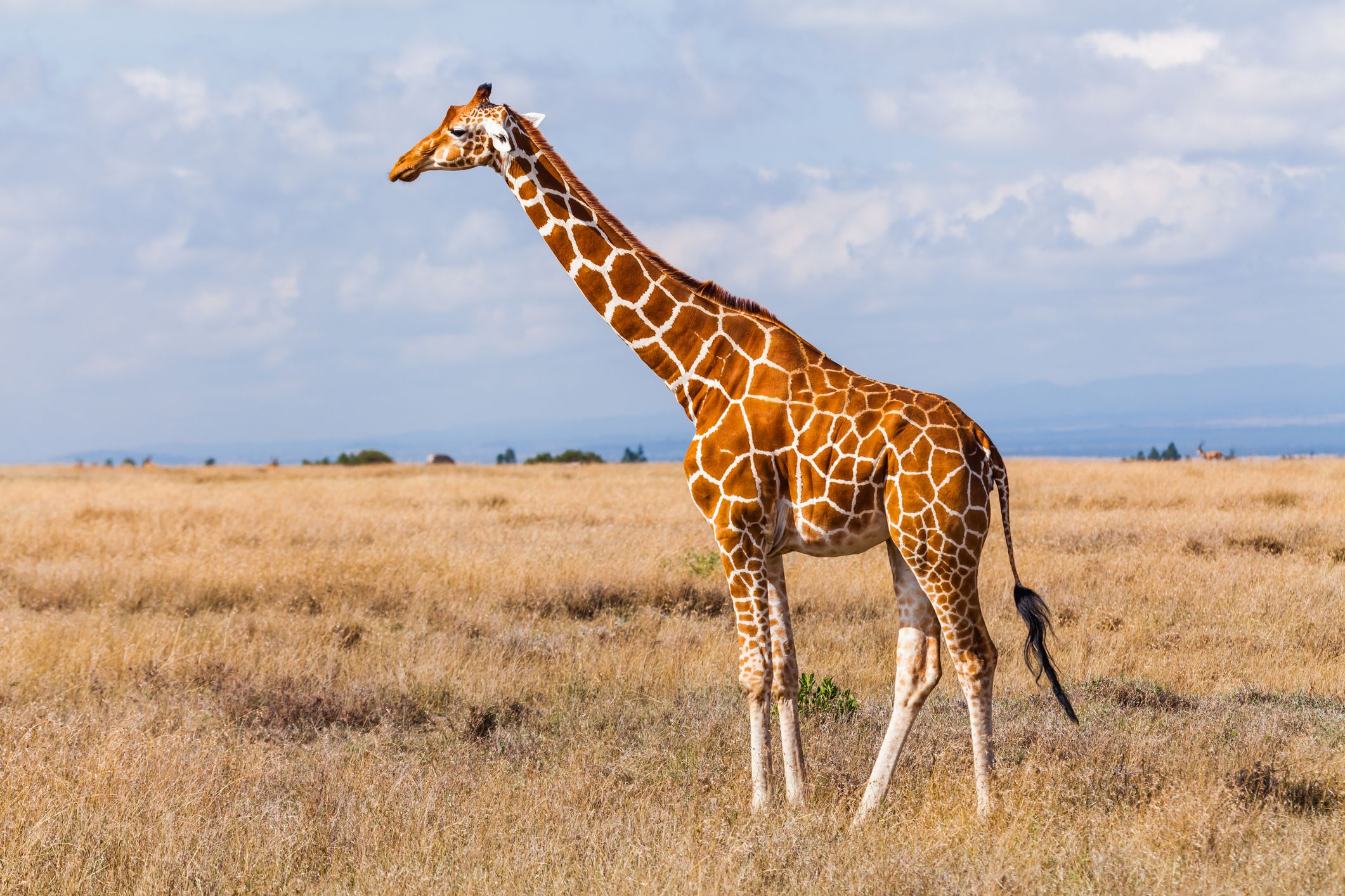 Giraffes in the savannah, Kenya