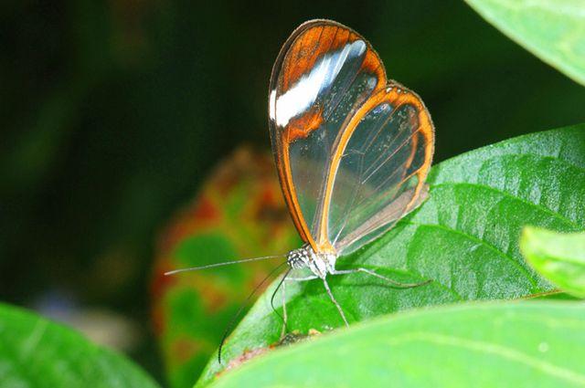 glasswing butterfly, greta oto, stratford upon avon butterfly park