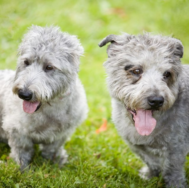 glen of imaal terriers   lockdown has failed to boost rare dog breeds, the kennel club has found