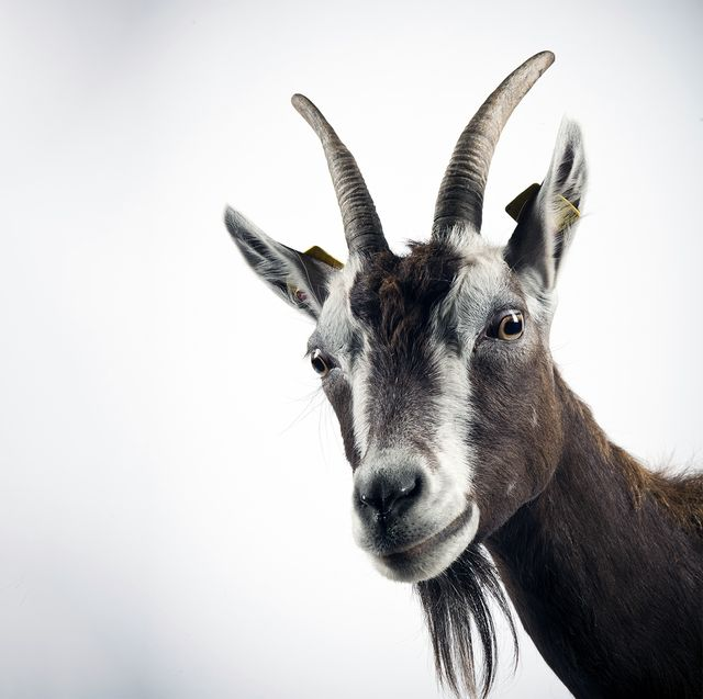 Mathematician Finally Solves Goat Problem: Here's the Answer
