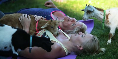 Goats, Goat, Canidae, Grass, Dog, Fun, Summer, Fawn, Dog breed, Cow-goat family,