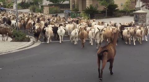 herd of goats in a residential neighborhood in california