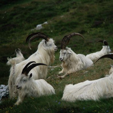 A herd of mountain goats have taken over a Welsh town