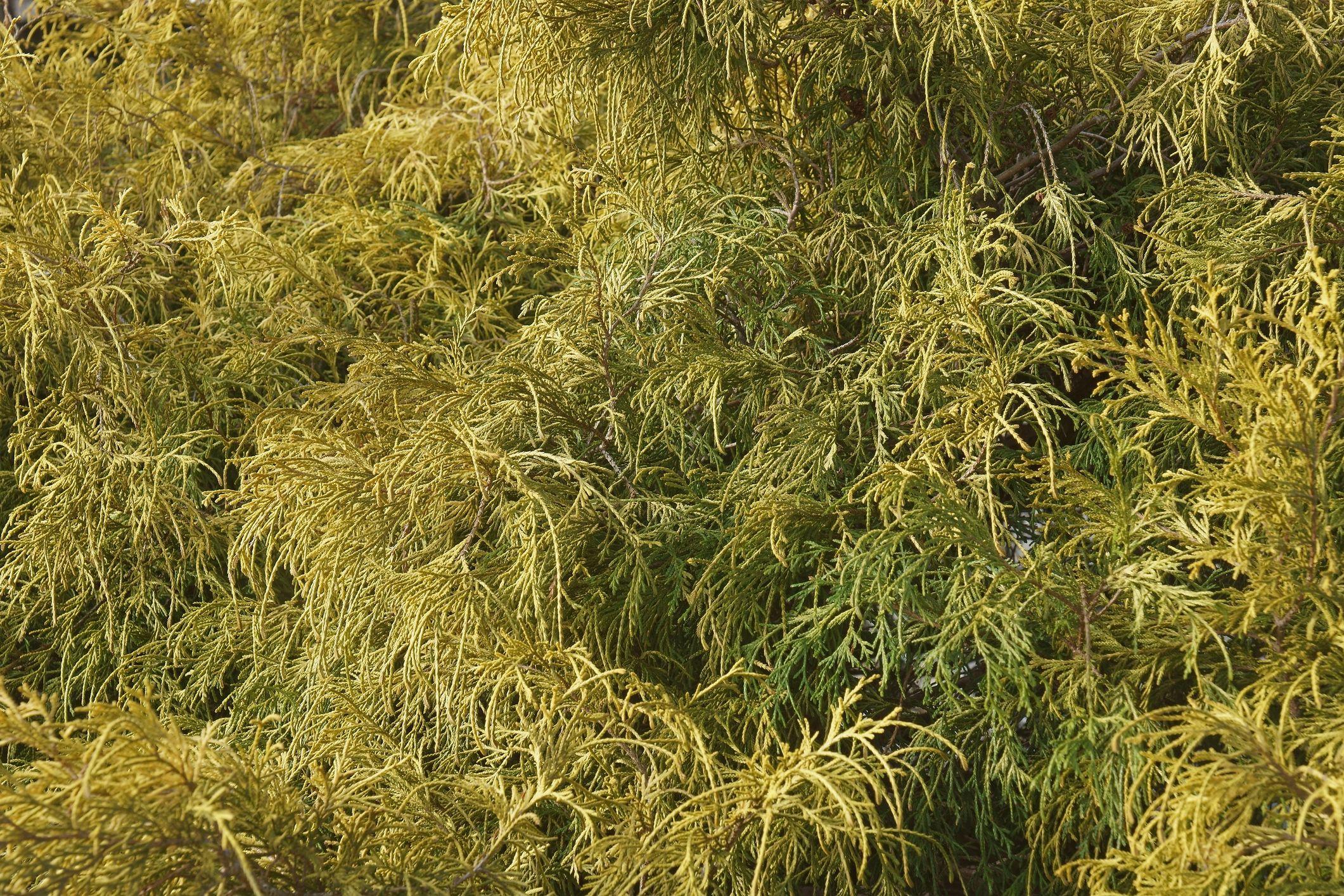 Gold dwarf threadleaf false cypress.
