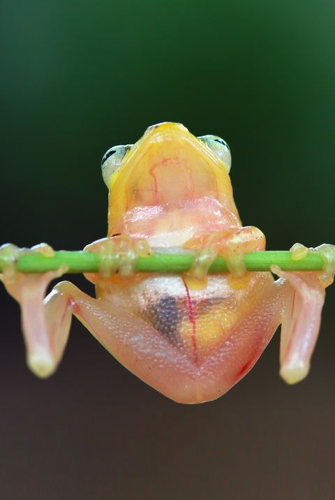 Golden glass Tree frog sitting on branch, Indonesia