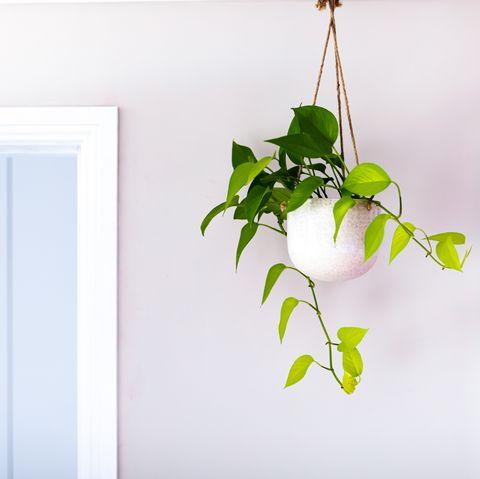 golden pothos devils ivy indoor plant vine in a hanging pot near doorway