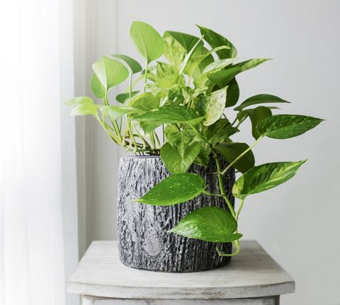 Golden pothos or Epipremnum aureum at window in the bedroom home and garden