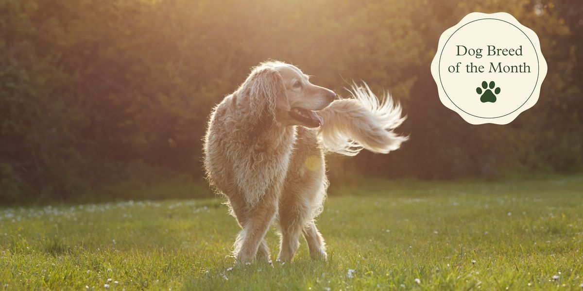 Here's why positive Golden Retrievers are the perfect family breed