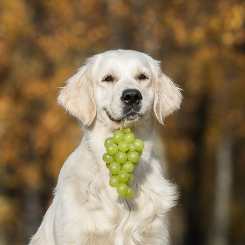 The Scary Reason You Shouldn't Feed Your Dogs Grapes