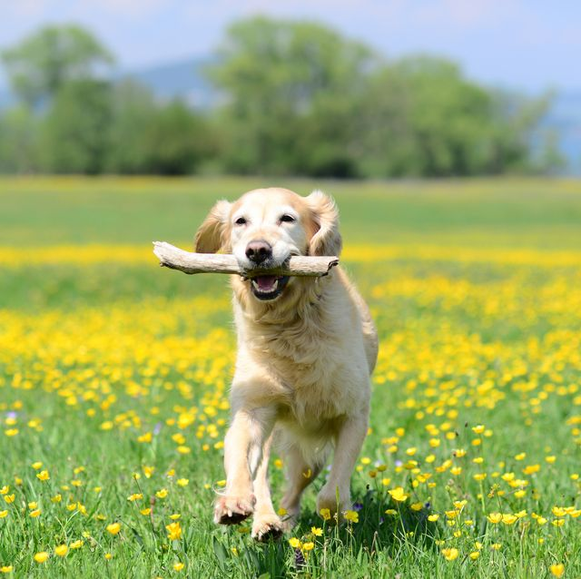 golden retriever dog playing with stick on a flower meadow outdoors