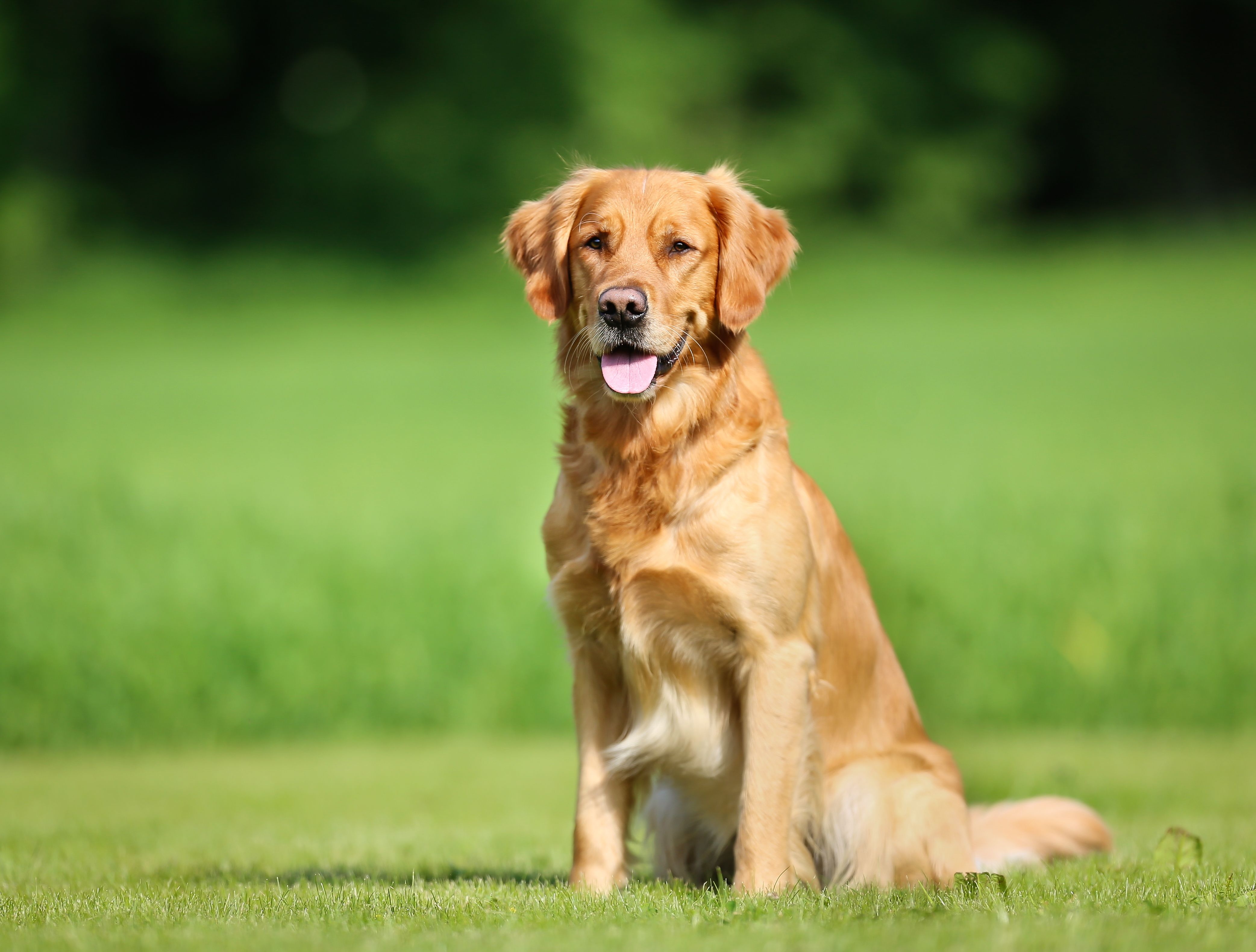 Dog Photo Golden Retriever