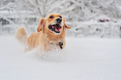 Golden retriever dog running on fresh snow