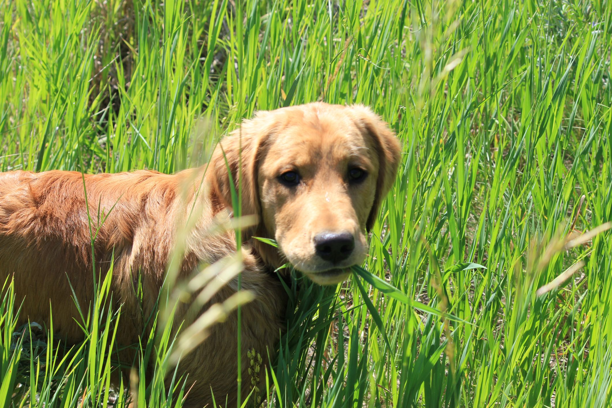 Why Do Dogs Eat Grass Common Reasons And Safety Advice
